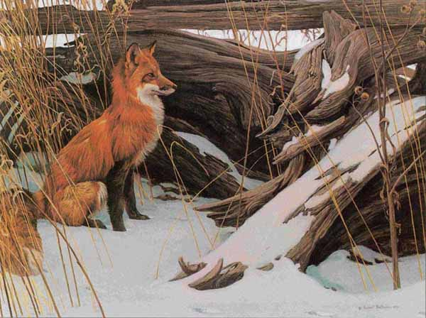 Wily And Wary Red Fox By Wildlife Artist Robert Bateman